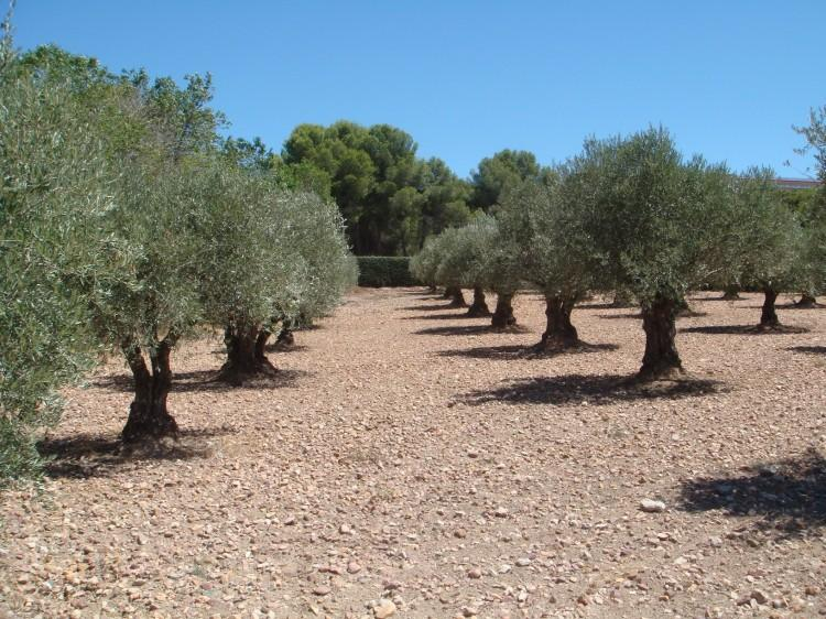 Olive Trees in Argan Del Rey