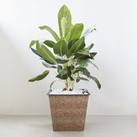 Hatteras 13x13x12 Thin Square Wicker Smart Self-Watering Planter in Light Brown V1902
